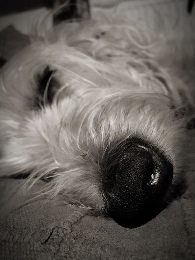 Dog Dog Nose Hund Hunde Nase Blackandwhite One Animal Sleeping Dog Tyred Müdigkeit Schlafender Hund