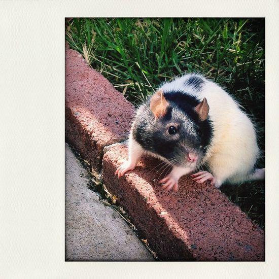 Rat Brick