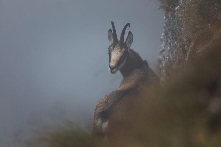 Wild chamois from ceahlau mountains, romania. wildlife photography.