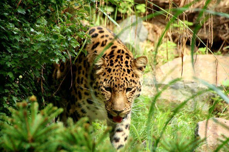 Zoo Leipzig 2017 Leopard Cheetah Safari Animals Feline Endangered Species Spotted Portrait Cat Family Zoo Big Cat