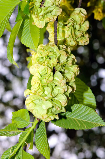 Foliage and winged fruits of European White Elm (Ulmus laevis). ELM Ulmus Laevis White Elm Bloom Blossom Botany Branch Close-up Day Freshness Fruit Green Color Growth Leaf Nature No People Outdoors Plant