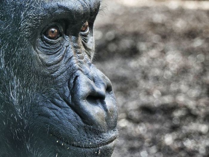Close-up of gorilla looking away on field