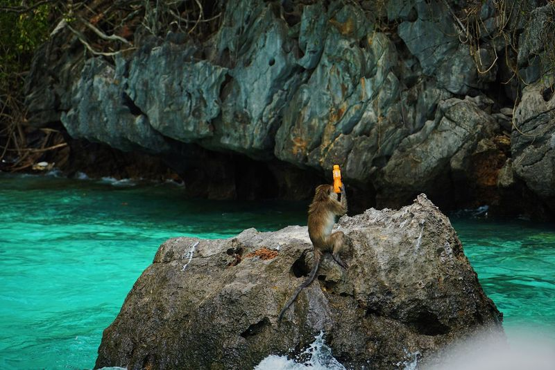 View of monkey catching the orange juice bottle on the rock by sea