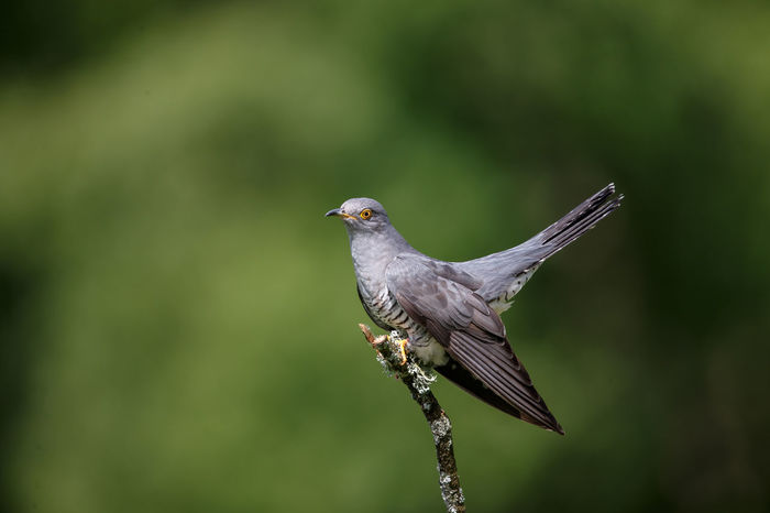 The common cuckoo is a member of the cuckoo order of birds, Cuculiformes, which includes the roadrunners, the anis and the coucals. This species is a widespread summer migrant to Europe and Asia, and winters in Africa. Common Cuckoo Cuculus Canorus Eurasian Cuckoo Animal Animal Themes Animal Wildlife Animals In The Wild Beauty In Nature Bird Brood Parasite Close-up Day Focus On Foreground Grey Migratory Nature No People One Animal Outdoors Perched Perching Plant Vertebrate Wild Wildlife