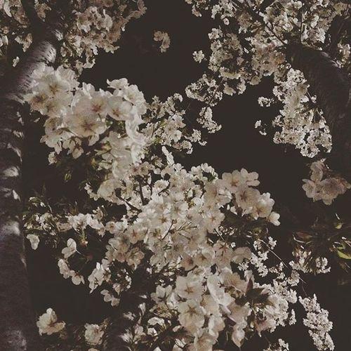 취하는 밤, 벚꽃 활짝