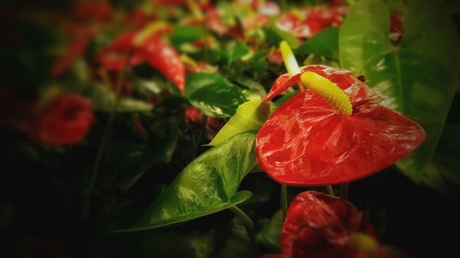 Red and green plant Red Leaf Nature Flower Close-up Growth Plant Freshness Green Color Fragility Beauty In Nature Outdoors Flower Head