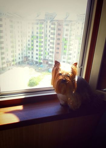 Yorkshire Terrier Yorkie ♥ Dog Dog❤ Domestic Animals At The Window At Home Outdoors Open Window Dogslife Yorkie My Dog Summer At Home Summer In The City Window View