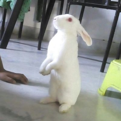 My rabbi.... Rabbit Cute Bestfriend Beautiful Little Adorable Buddie  Home Lovely Sweet Standing White Rabbits Chochweet Love Life You Always With Me Magical Handsome Boy Loveyousoomuch Mycutelittlerabbit myrabbit rabbit love mylife cute whpmydailyroute fotogeek15