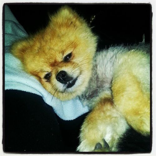 Logan chillaxing Kuw Kuwait Q8 Q8ig q8instagram DOG pet pomeranian boo