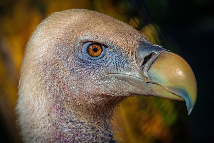 Close-up of a vulture