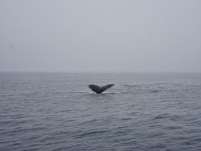 High angle view of tail fin of humpback whale