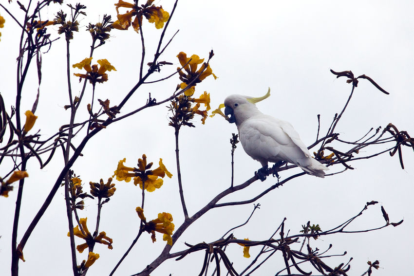 White Cockatoo sitting on a tree branch drinking nectar from a flower Australia Birds Branch Drinking Nectar Nature Parrot Sippin White Cockatoo Yellow Flower