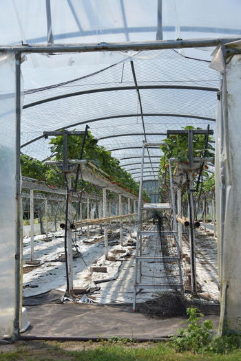 Agriculture Beauty In Nature Botany Built Structure Day Environment Grass Greenhouse Growth Land Nature No People Outdoors Plant Plant Nursery Roof Strawberries Sunlight The Still Life Photographer - 2018 EyeEm Awards