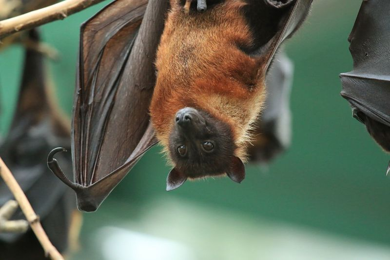 Fruitbat Flying Fox Flughunde Flughund Nature Animal Animals EyeEm Gallery Animal Photography Tierpark Berlin EyeEm Best Shots Eye4photography  EyeEm Nature Lover EyeEm EyeEm Best Edits AMTPt_community