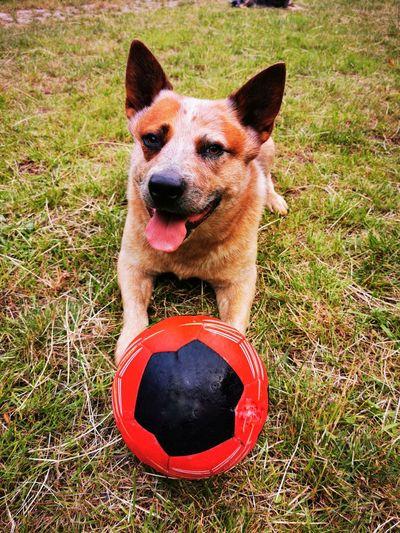 High angle portrait of a dog on field