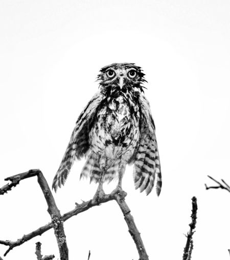 After The Rain Animals In The Wild Bird Bird Of Prey Blackandwhite Brazil Caatinga Close-up Coruja Desert Life Earth Owl Getting On Higher Grounds Grumpy Grumpy Owl Nature No People Once In A Year One Animal Owl Portrait Rainy Season Spread Wings