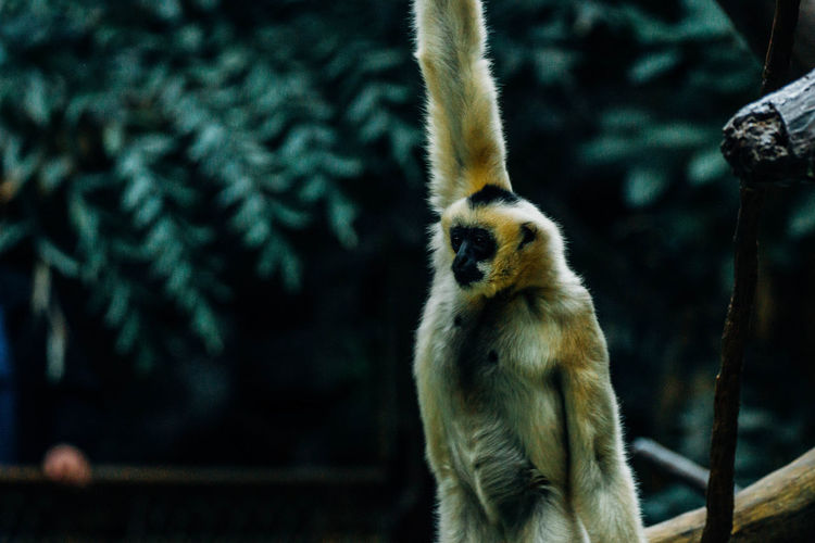 Gibbon with arms raised