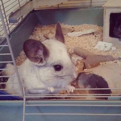 This little madam is such a poser! Chinchilla Mosaic Littlefeeties