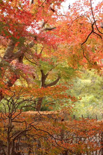 Autumn Tree Nature Beauty In Nature Orange Color Outdoors Autumn Collection Japan