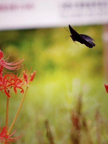 彼岸花 曼珠沙華 Carl Zeiss Jena Sonnar Nature Flower Hello World