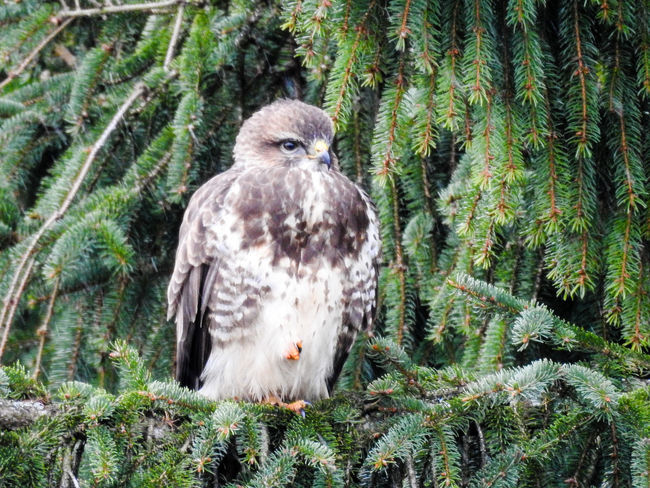 Nikon P900 Animal Themes Animal Wildlife Animals In The Wild Bald Eagle Beauty In Nature Bird Bird Of Prey Close-up Day Feather  Forest Looking At Camera Nature Nikonphotography No People One Animal Outdoors Owl Perching Portrait Tree Vulture