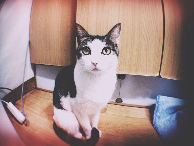 Yomi Cat