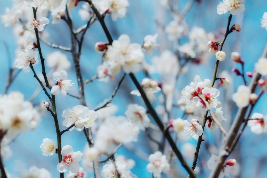 Beauty In Nature Flower Springtime Blossom Day Plum Blossom 3月 Japanese  March 桃の節句 日本 Japan Good 可愛い かわいい 愛知 Cute フラワー 花 白梅 梅 梅の花 Beauty In Nature