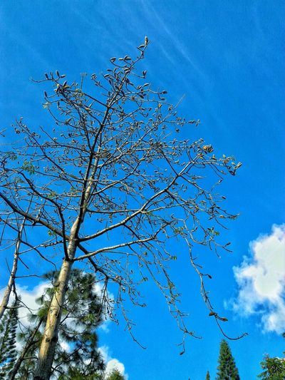 Low Angle View Blue Sky Nature Beauty In Nature Tree Close-up EyeEm Best Shots Natural Pattern Em Natural Lover A Moment Of Zen... EyeEm Gallery Artistic Expression Seed Pods Beauty In Nature Tree_collection  Trees And Nature