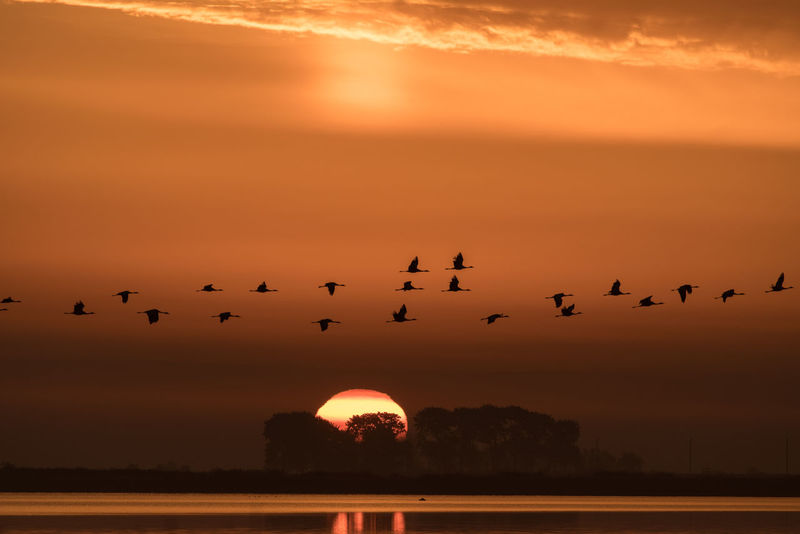 At Sunrise Animals In The Wild Bodden Nature Sunrise Collection Animal Themes Animal Wildlife Animals In The Wild Beauty In Nature Beauty In Nature Bird Birds Cloud - Sky Flock Of Birds Flying Large Group Of Animals Nature No People Orange Color Scenics Silhouette Sky Sun Sunrise