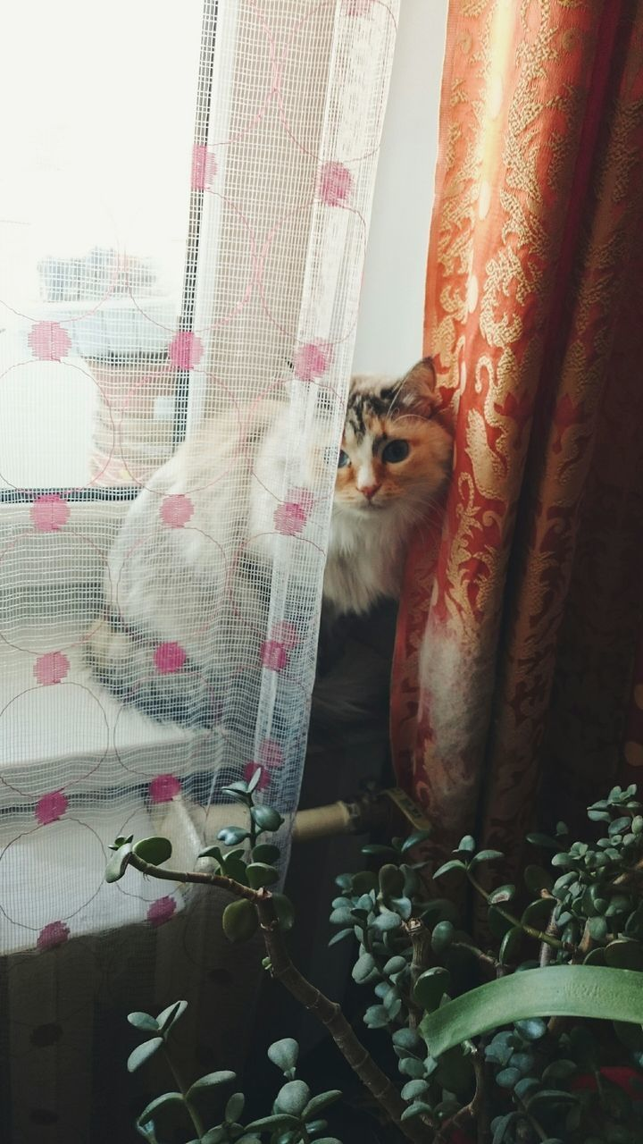 pets, domestic animals, animal themes, mammal, one animal, domestic cat, curtain, no people, looking at camera, feline, indoors, day, close-up