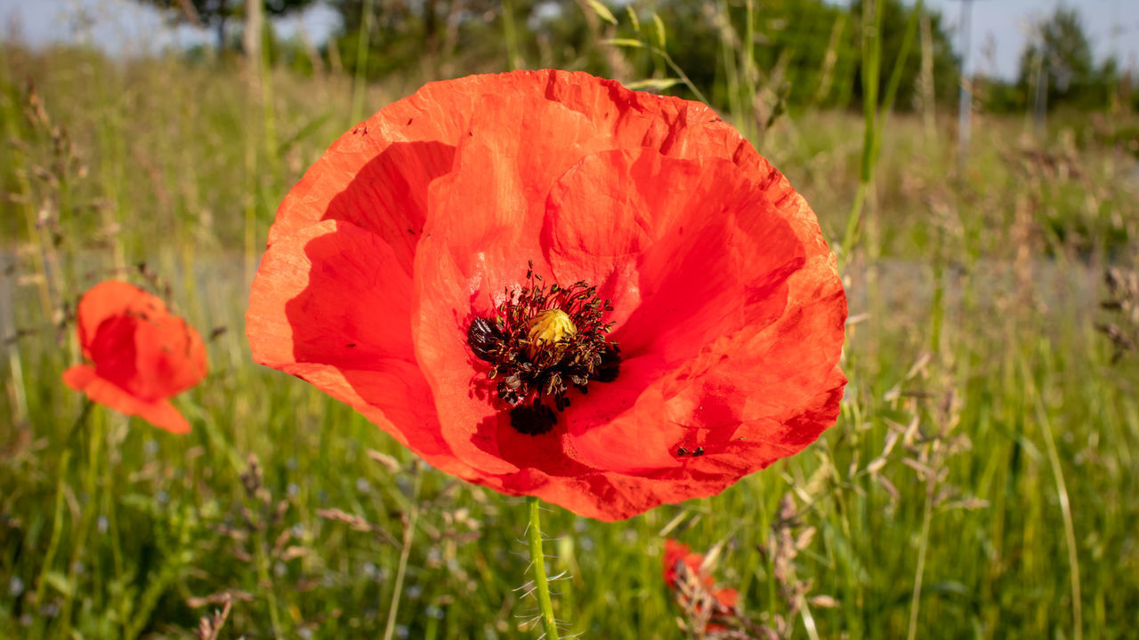 CLOSE-UP OF HONEY BEE ON RED POPPY