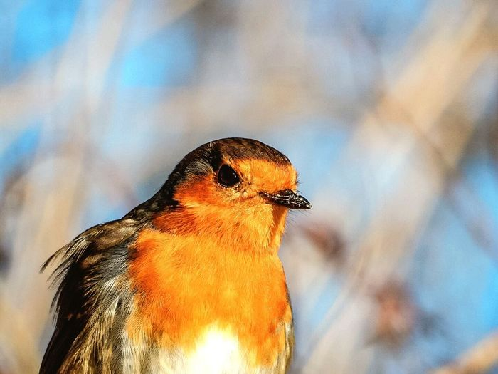 Close-up Bird Robin Redbreast Huffpostgram Birds Up Close Nature Photography Wildlife & Nature Bird Photography Birds Of EyeEm  Animal Photography Close To Nature Wildlife Bird Close Up Birds EyeEm Nature Lover EyeEm Best Edits EyeEmBestPics EyeEm Best Shots Detail Posing Feathers