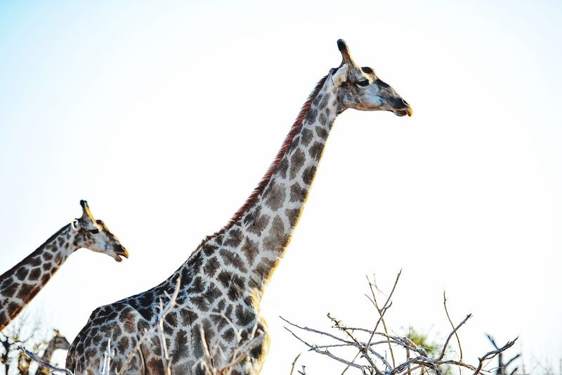 Chobenationalpark Chobe River ChobeRiver African Giraffe Hello World Safari Animals Game Drive Cheese! Enjoying Life Botswana BOTSWANA Chobe Vocation Ilovephotography Ilovemylife Safari Natural Love Travel Favorite Nature Photography Photooftheday Animal Mydreamdestination