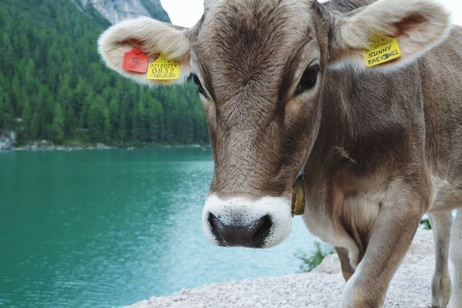 Happy cow 🐄 Travel Mates Travel Mate Animals In The Wild Animal Wildlife Mammal Close-up Portrait Animal Cow Happy Cow Happy Cows Water Lake View Braies Lake Dolomites Lago Di Braies Be. Ready. EyeEmNewHere