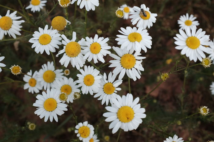 Beauty In Nature Blooming Camila Camilla Camille Close-up Day Flower Flower Head Flowers Fragility Freshness Growth Herbs Kamilla  Kamille Kamillenblüten Medicinal Plant Nature Nature No People Outdoors Petal Plant Yellow