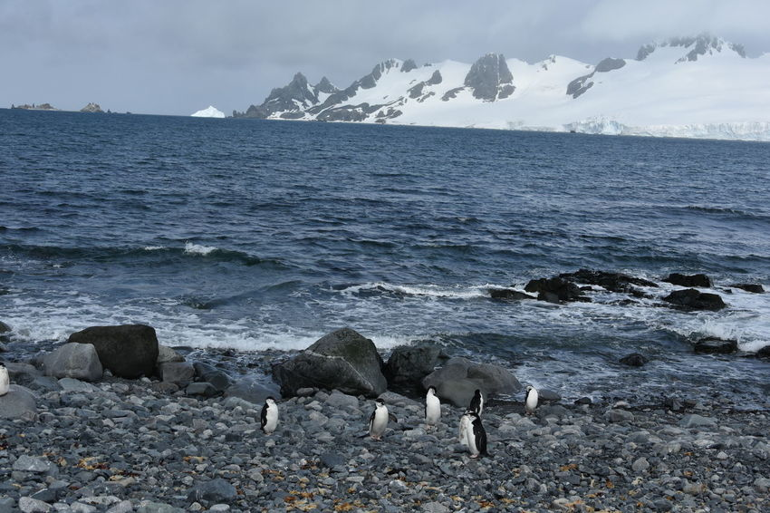 Antarctic Antarctic Peninsula Antarctica Chinstrap Penguin Frozen Ice Penguin Penguin Colony Penguins Snow Winter