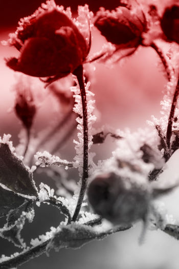 Red rose covered with frost Red Bloom Bud Cold Flower Flowers Ice Ice Rose Red Romantic❤ Rosé Winter Wintertime