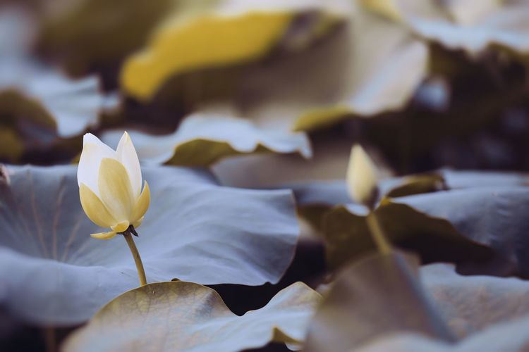 Lotus Flowering Plant Beauty In Nature Flower Vulnerability  Petal Freshness Fragility Close-up Plant Flower Head White Color Nature Day Leaf Plant Part Outdoors Growth Lotus