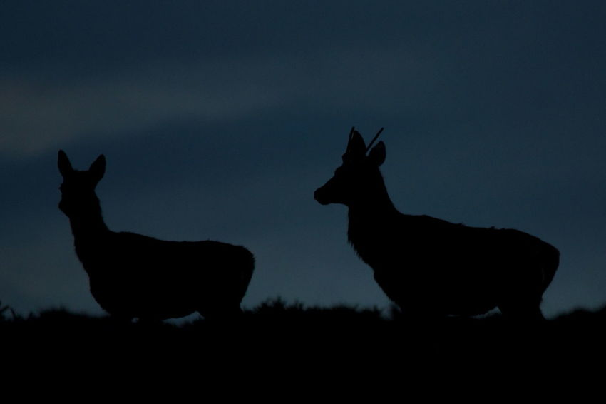Red Deer Somerset Animal Animal Themes Animal Wildlife Animals In The Wild Deer Dusk Exmoor Group Of Animals Land Mammal Nature No People Silhouette Sky Sunset Two Animals Vertebrate