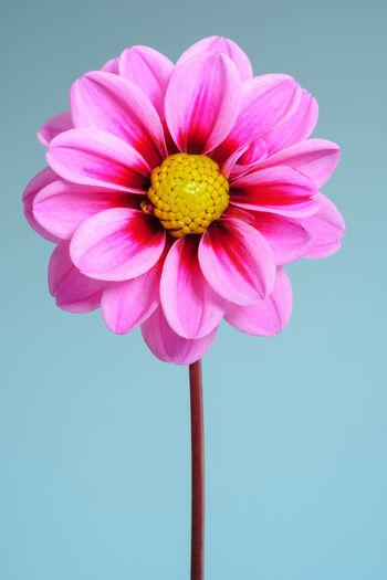 Pink Dahlia,