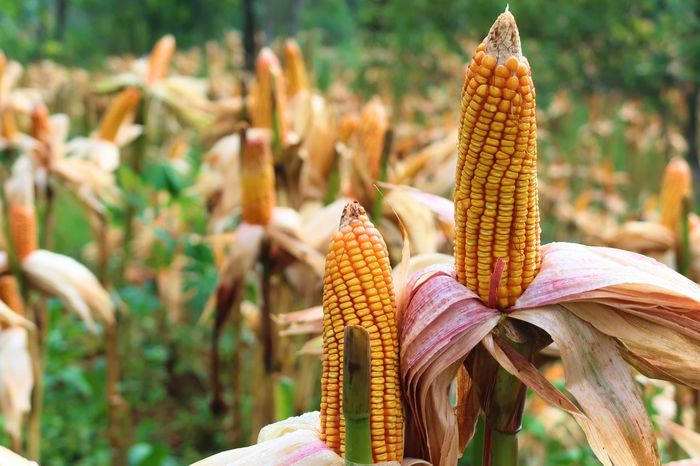 Beauty In Nature Branch Close-up Corn Corn - Crop Corn Crop Corn Field Corn Harvest Corn On The Cob Corn Plants Corn Post Harvest Cornfield Crops Crops Field Day Focus On Foreground Freshness Growth Maize Maize Field Maize Leaves Nature Plant Post Harvest Sereal