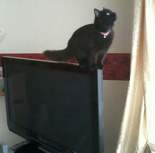 Cat on the television literally Caturday Cat One Cat Cats Feline Kitten Kittens Black Black Cat Black Cats Black Kitten Cheeky Cat Cheeky On The Television LiterallyTelevision Curtain Curtains Looking Up Looking For Trouble Balancing Cat Balance
