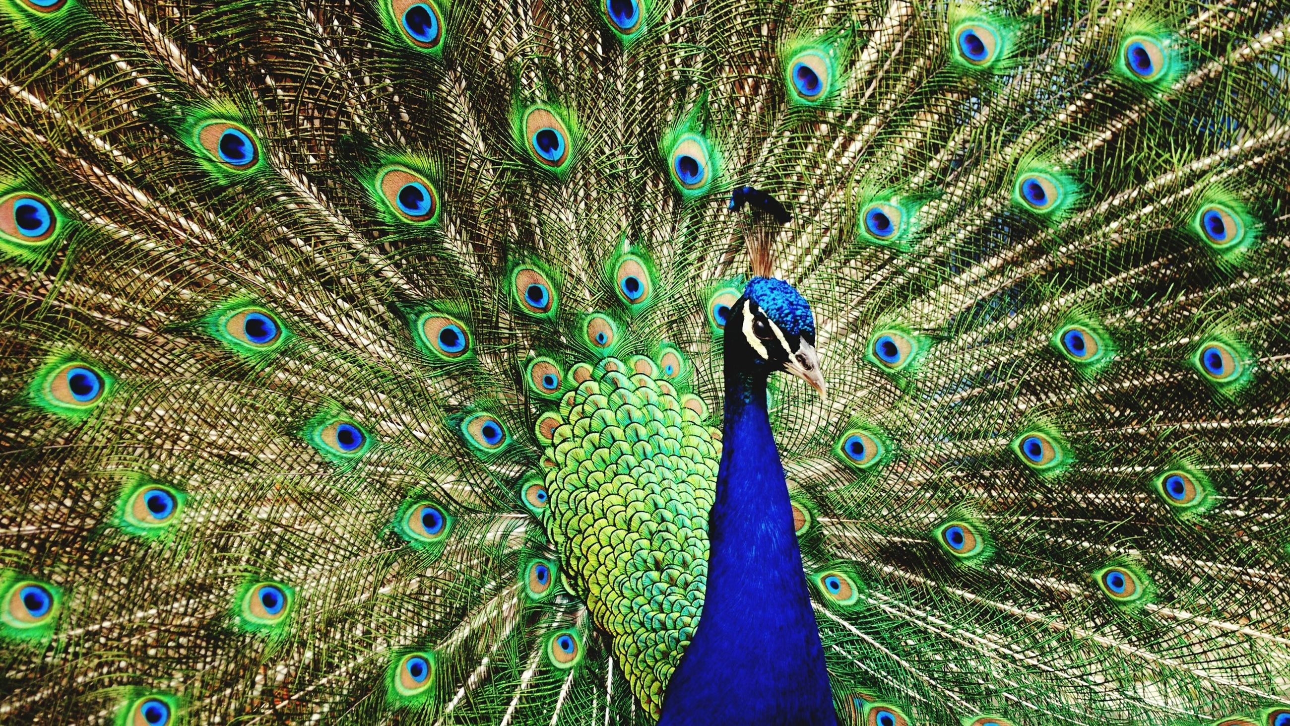 peacock, animal themes, wildlife, one animal, animals in the wild, bird, peacock feather, fanned out, blue, feather, male animal, close-up, multi colored, natural pattern, beauty in nature, beauty, animal head, full frame, majestic, nature