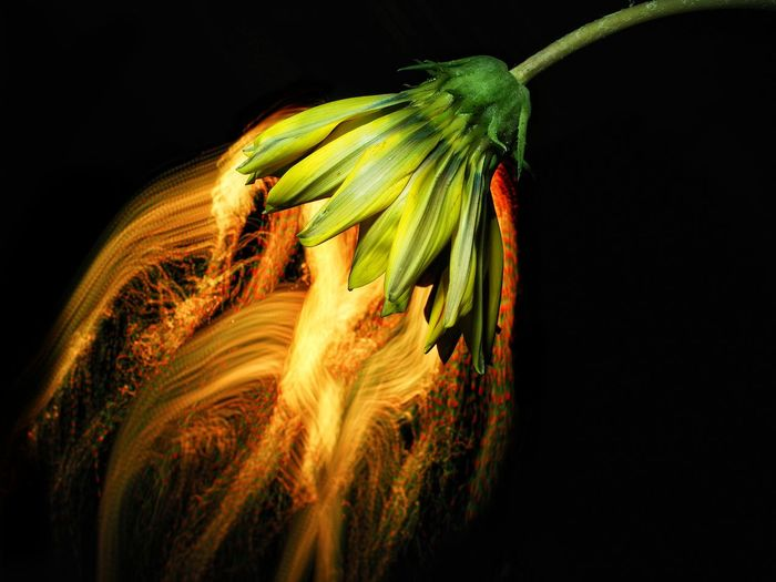 Deep in their roots, all Black Background Studio Shot Nature Pollination Pollinating Lpwa Lightpaintingbrushes Lightphotography Light In The Darkness Lights And Shadows Lpwalliance Artistic Expression Abstractphotography Nature EyeEm Gallery Lightpaintingart Nature_collection Lightpainting_photography Color Splash Nature Photography EyeEm Nature Lover Naturephotography Flower Head EyeEm Best Shots - Nature Eyeemphotography flowers keep the light Mix Yourself A Good Time