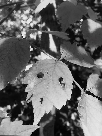 Scared Leaf Afraid of Falling Leaf Autumn Change Nature Focus On Foreground Day Outdoors Close-up No People Growth Maple Beauty In Nature Fragility Face Of Fear Perspectives On Nature Black And White Friday