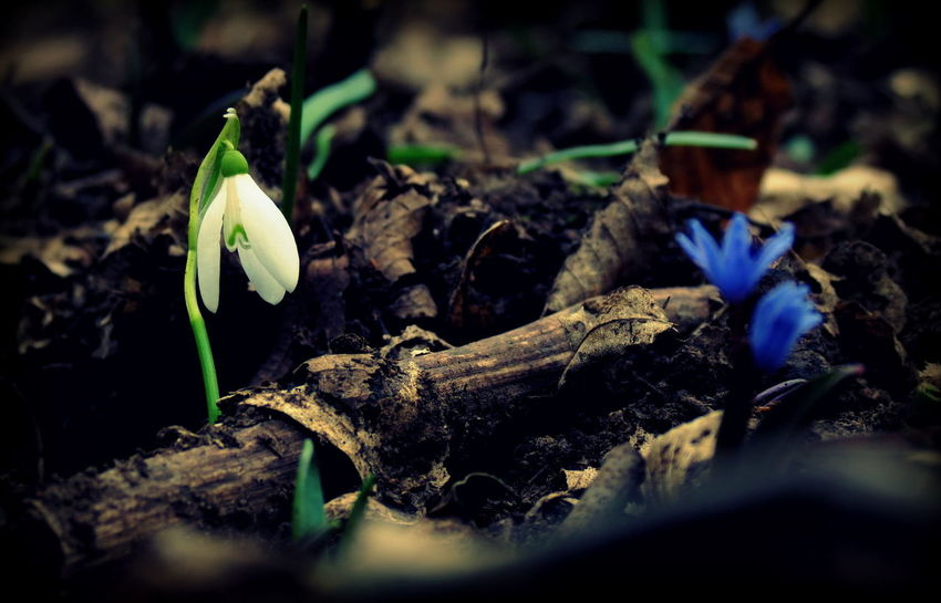 Snowdrop Snowdropflower Snowdrops🌱 Flowers Flowers_collection Flowerlovers Flower Photography Beautiful Nature Beauty In Nature Naturelovers Nature Photography Beauty Of Nature Naturephotography Nature_collection