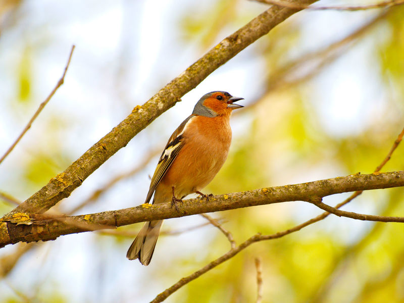 Animal Themes Animal Wildlife Animals In The Wild Beauty In Nature Bird Birds Branch Chaffinch Chirp Close-up Common Chaffinch Environment Fringilla Fringilla Coelebs Gorgeous Nature No People One Animal Outdoors Perching Singing Bird Songbird  Trill Warbler Wildlife
