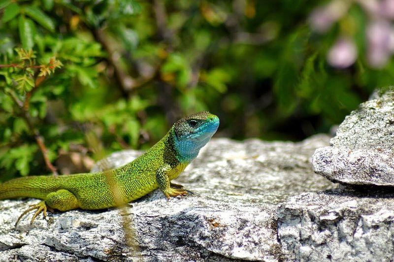 Lizard Nikon
