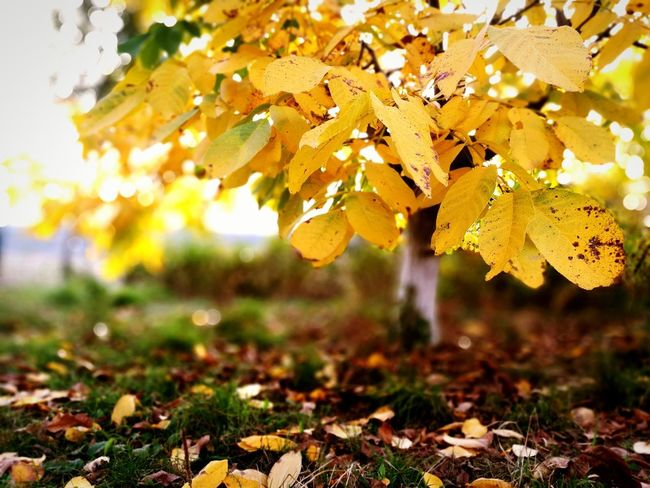Feel the autumn 🍁 Leaf Nature Autumn Outdoors Beauty In Nature No People Grass Tree Golden Leaf Yellow Multi Colored Autumn Colors Autumn Collection Sunset Yellow Background Orchard Orchard Tree Beauty In Nature Golden Sky Autumn Leaves Nature Photography Nature_perfection Cold Day EyeEm Best Shots