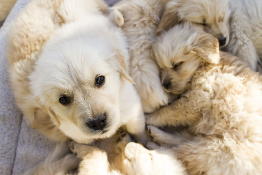 Animal Themes Close-up Day Dog Domestic Animals Exactleigh Golden Retriever Golden Retriever Puppy Golden Retrievers Indoors  Jamie Leigh Looking At Camera Mammal Pets Portrait Puppies Puppy Sleeping Puppies Sleepy Tired EyeEm Selects Pet Portraits Be. Ready.
